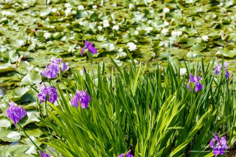 Iris Flower Season Kaju-ji Purple